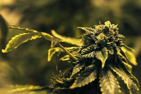 Two Nevada marijuana companies are facing hefty fines and a possible loss of their licenses by ...
