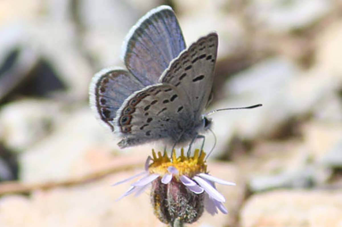 The Mount Charleston blue butterfly was added to the endangered species list in 2013. (Photo co ...