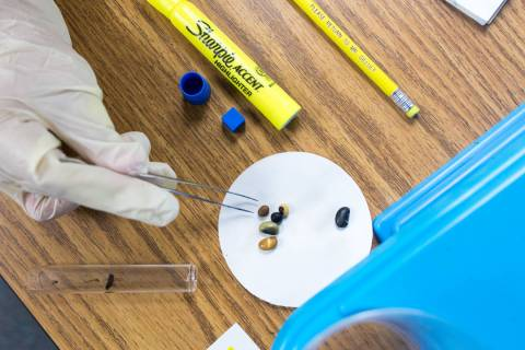 Fifth-grade students at John C. Vanderburg Elementary School work on a seed experiment at their ...