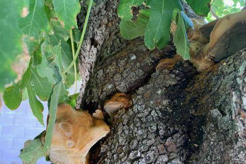 Identifying the conk on a fig tree can identify the disease and how aggressive it is. (Bob Morris)