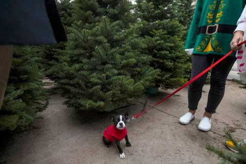 Ollie, a 10-week-old Boston Terrier, looks around at Christmas trees at Star Nursery in Las Veg ...