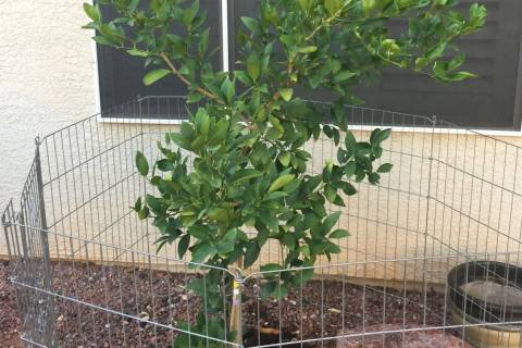 Tender citrus trees that are not native to the desert Southwest, may have trouble growing here. ...