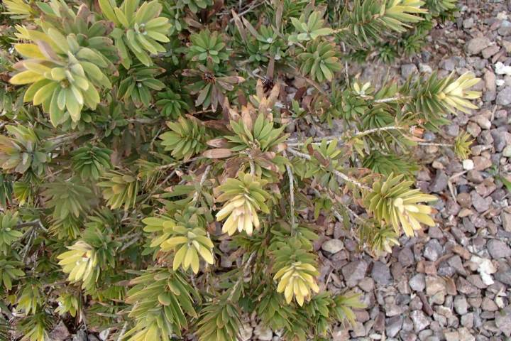 This dwarf bottlebrush is yellowing because of a lack of available iron and cold damage to the ...
