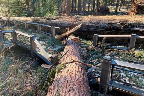 A boardwalk in the Mariposa Grove in Yosemite National Park was damaged by a fallen ponderosa p ...