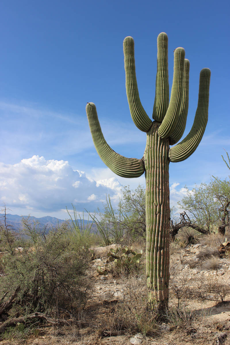 Saguaro National Park is named for the towering saguaro cactus, the signature plant of the Sono ...