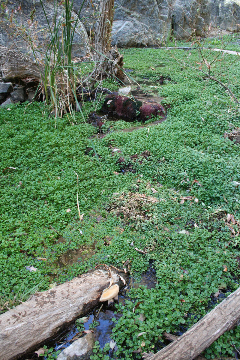 Watercress and other water-loving plants thrive in Darwin Creek. (Deborah Wall)