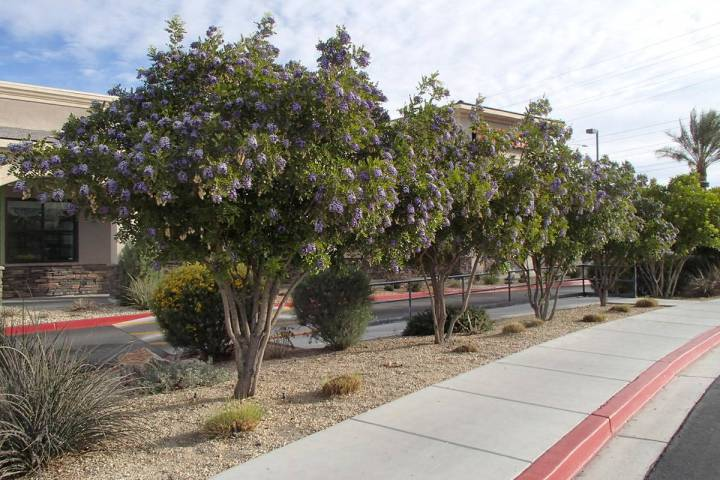 Texas mountain laurel is a native tree from Chihuahuan Desert. (Bob Morris)
