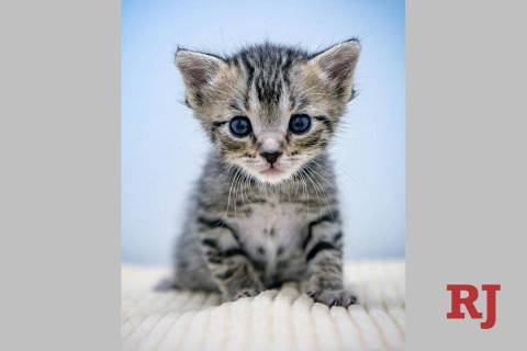 Kittens like this little guy will be available for adoption by appointent during the CATurday F ...