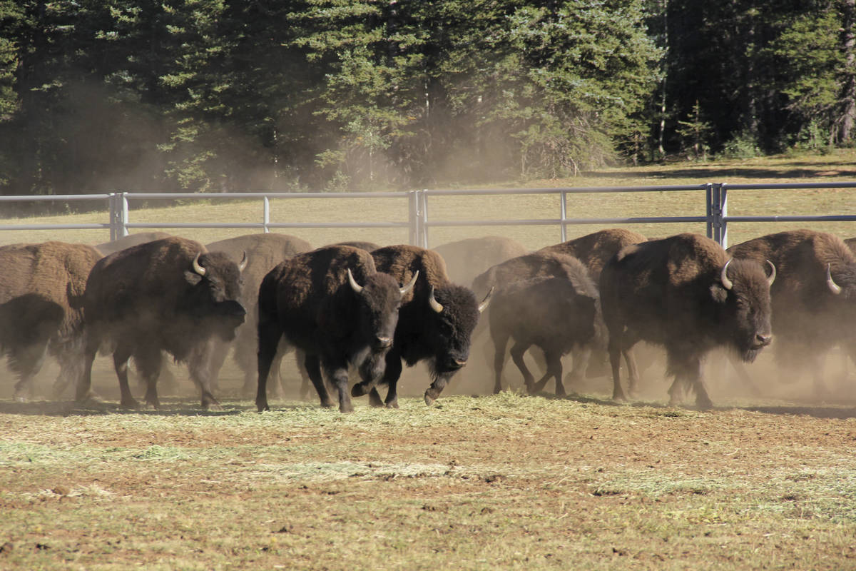 In this Sept. 13, 2019, photo, provided by the National Park Service, bison enter a corral on t ...