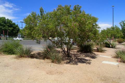 Desert willows grow naturally in the desert so they are perfect plants for rock mulch and a dry ...