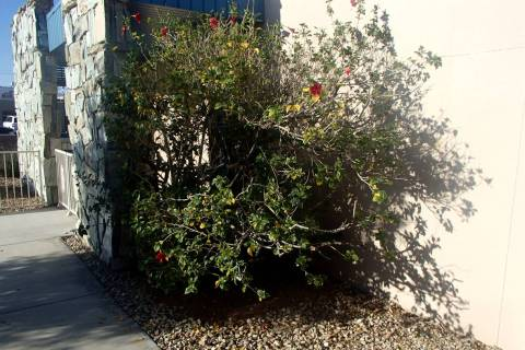Rose of Sharon is a hardy and fun deciduous shrub for our climate. (Bob Morris)