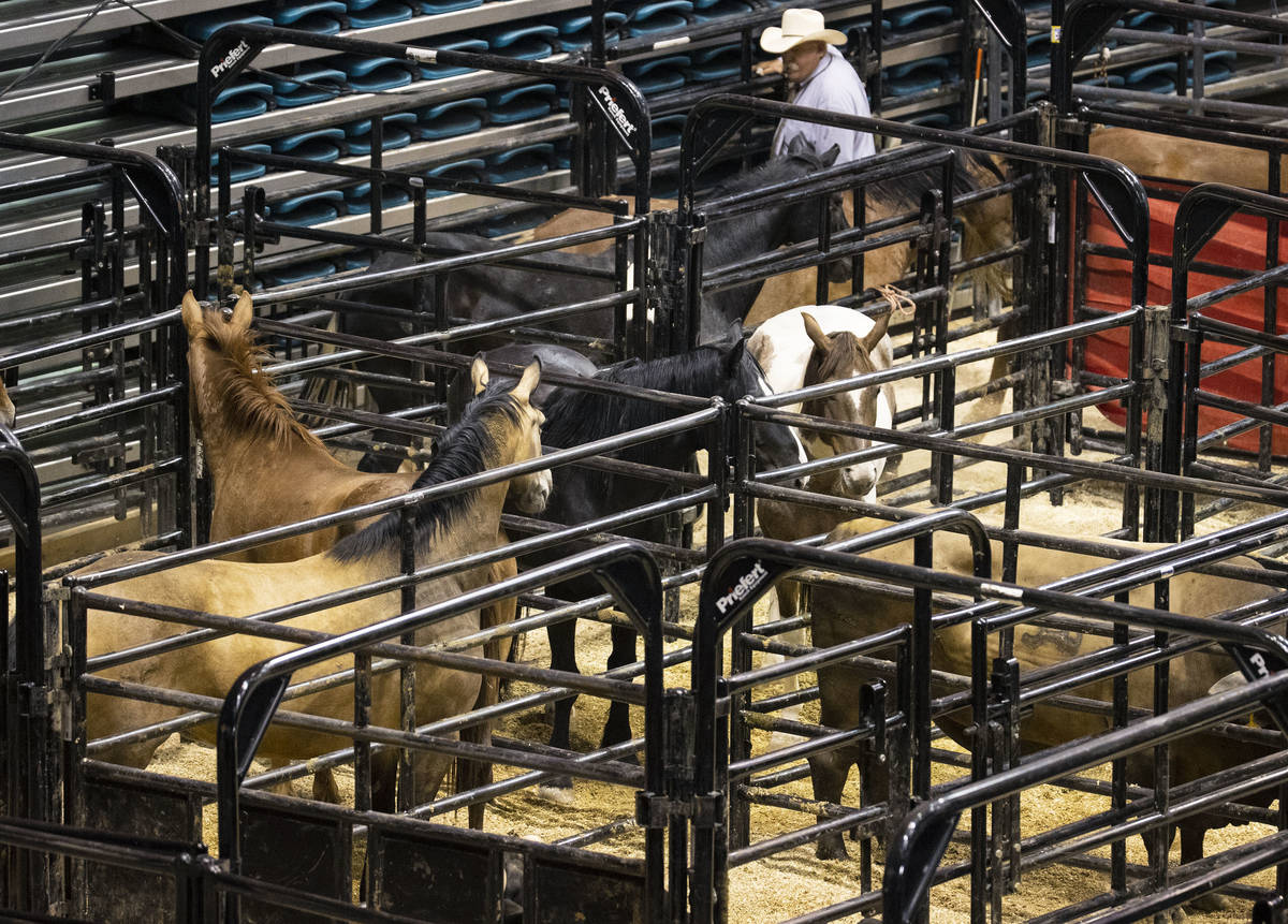 Horses wait their turn for bareback riding competition at the Bill Pickett Invitational Rodeo, ...