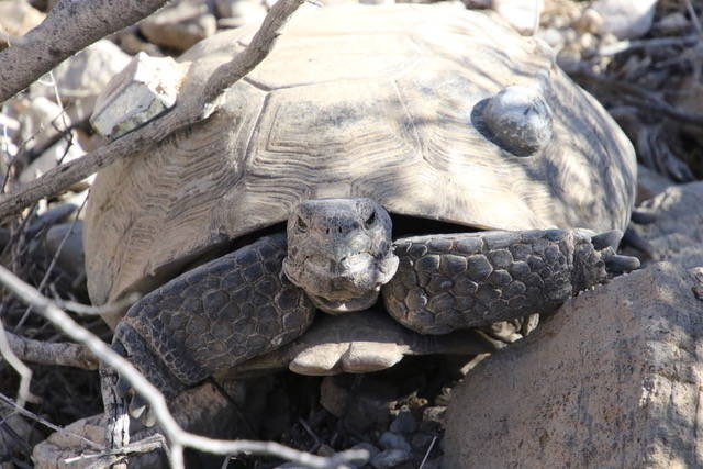 A close-up of a radioed desert tortoise that is a part of a U.S. Geological Survey study in the ...