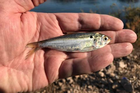 Threadfin shad, like this one from Lake Mead, are a primary food source for striped bass in the ...