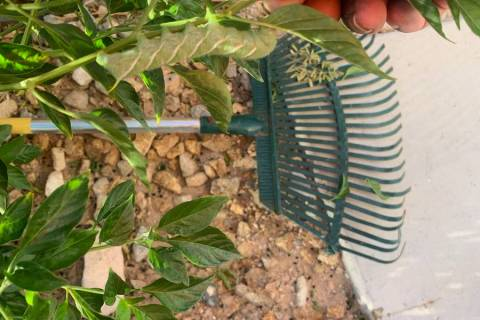 Seeing hornworms is usually a spring phenomenon, but the rains may have encouraged a large popu ...
