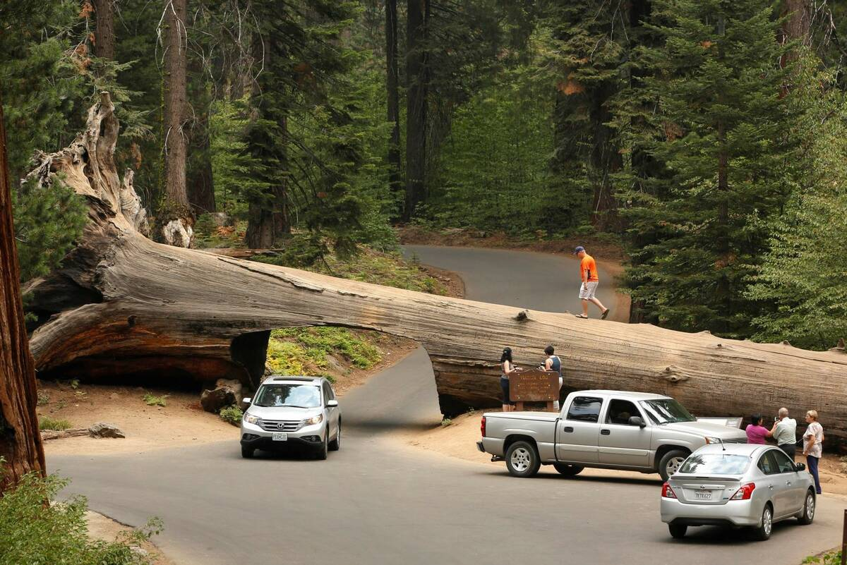 Visitors explore the Tunnel Log, a passage cut through a giant Sequoia tree that fell in 1937, ...
