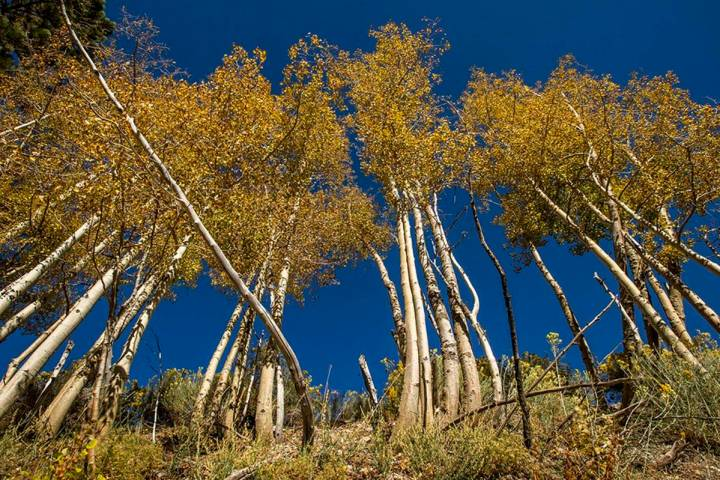 A large stand of Aspens turns color on the first day of fall near the Lee Canyon ski resort on ...