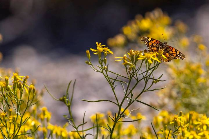 A butterfly rests atop some flower petals on the first day of fall near the Lee Canyon ski reso ...