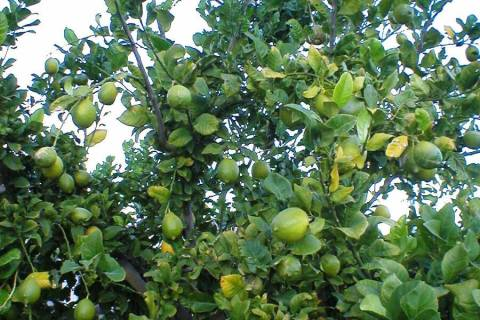 Lemons, like these on this Eureka tree, usually don't ripen until about December. (Bob Morris)